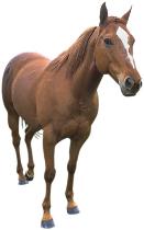 Pferdekörper - Anatomie