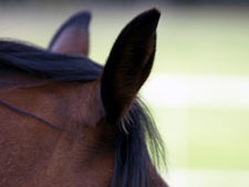 Pferdeohren sind sehr beweglich