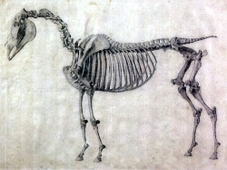 Skelett des Pferdes