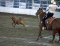 Westernreiten - Cattle Work