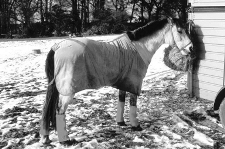 Pferdetransport - Pferd während der Pause am Anhänger