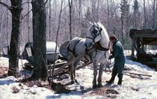Arbeitspferde - in der Forstwirtschaft teilweise noch gebraucht