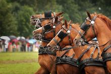 Fahrsport - Höchstleistung von den Pferden