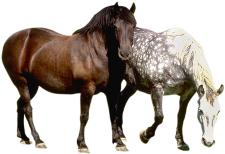 Fell und Farben beim Pferd