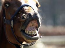 Flehmen - besonderes Riechen beim Pferd