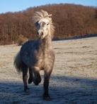 Islandpferde in Reinkultur