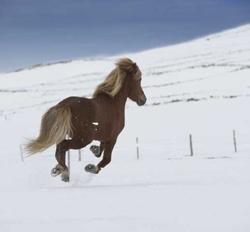 Reykjavik im Zeichen des Islandpferdes
