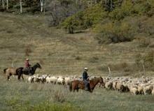 Arbeitspferde in der Landwirtschaft
