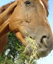 Geschmackssinn des Pferdes