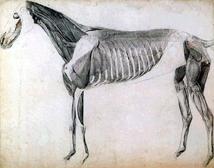 Muskulatur des Pferdes