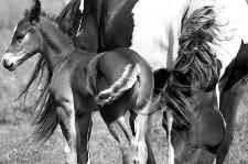 Pferdezucht - Stute mit Fohlen
