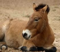 Przewalski-Pferd