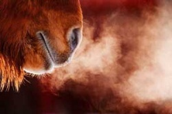 Islandpferde - problemlos in Robustpferdehaltung möglich
