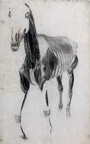 Pferde-Muskulatur